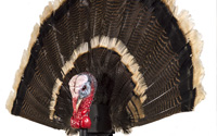Turkey on a Stick with Fan Gobbler Turkey Decoy
